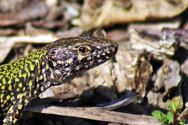 Lizard by CTee
