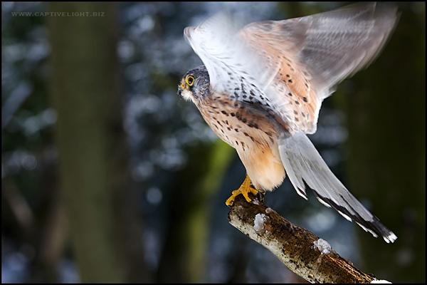 Kestrel in the Wind by Miles Herbert