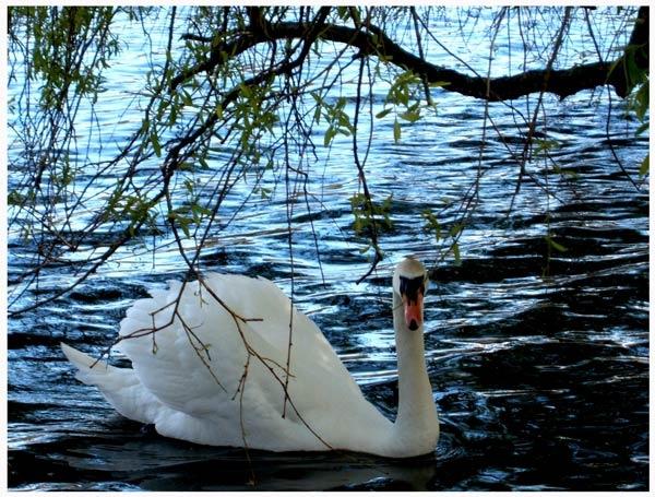 Swan Lake by Lois96