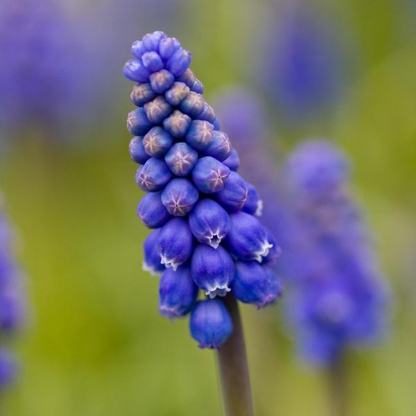 Grape Hyacinth by jammy_sam
