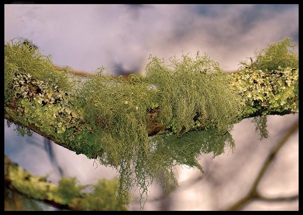 Lichen by Scutter