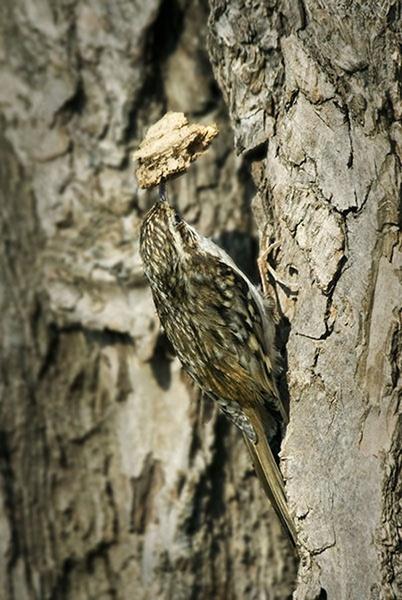 Treecreeper with Nesting Stuff. by fishing