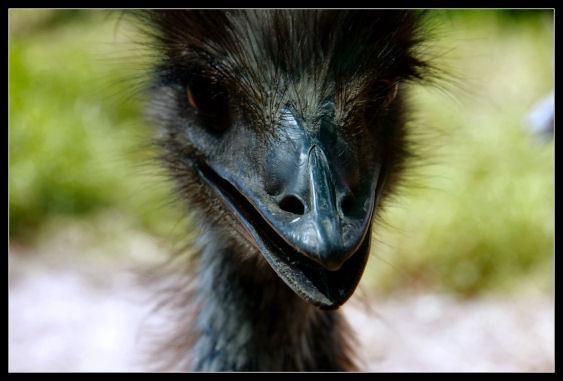 Emu by challicew