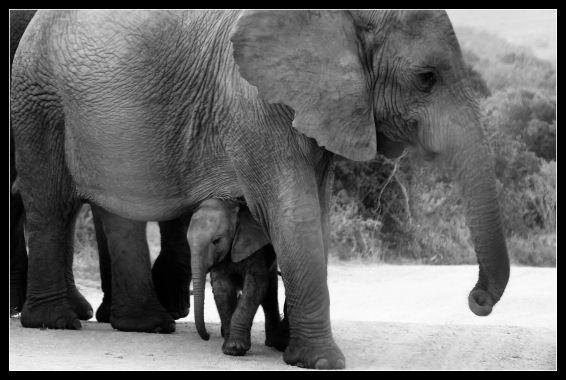 New Born Elephant by challicew