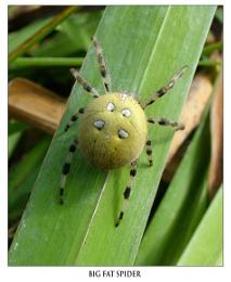 Big fat spider
