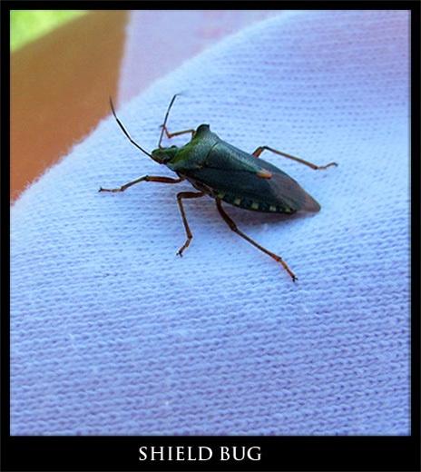 shield bug by ducatifogarty