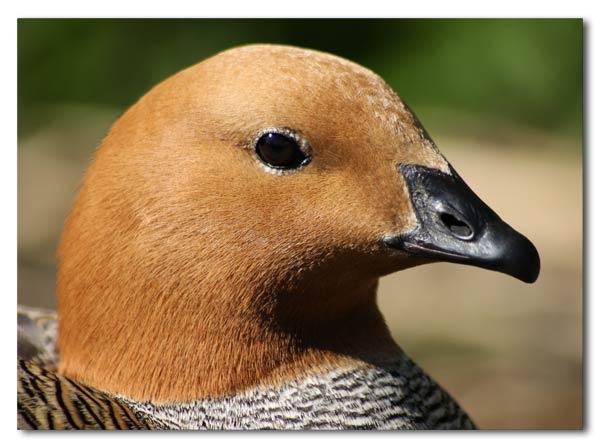 My first duck photo by Luke_Skywalker