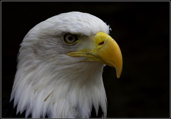 Bald Eagle by cameraman