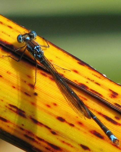 Damsel Fly by mightymaits
