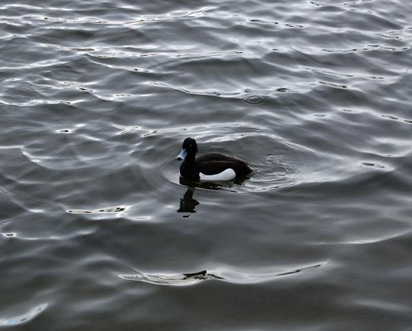 Duck by danleatherdale