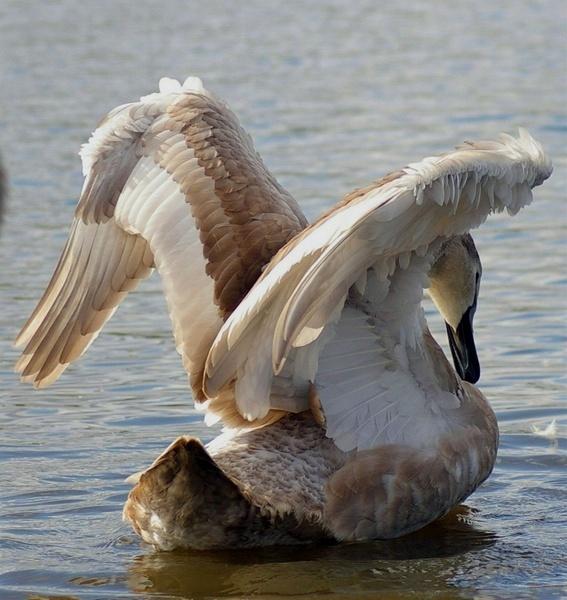 Swan enjoying the sun by philstaff
