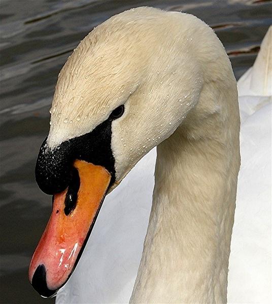 Swan head study by philstaff