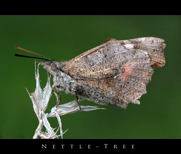 Nettle-Tree by celestun