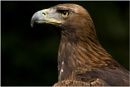 Golden Eagle by dark_lord