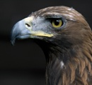 Golden Eagle by bppowell