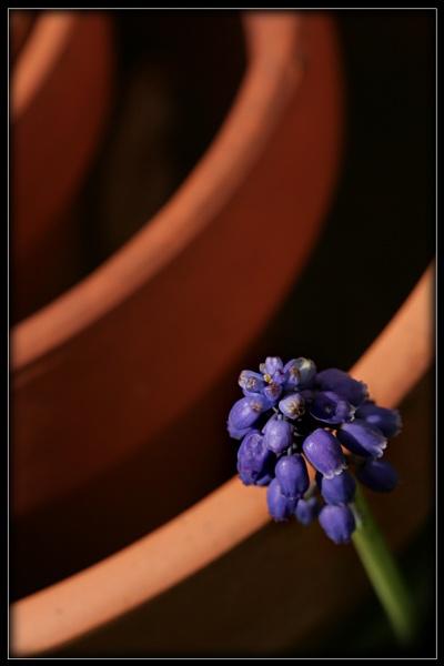 Grape Hyacinth by Morpyre
