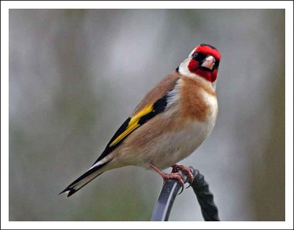 My 1st Goldfinch by helengib