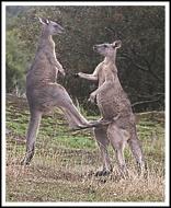 Boxing Kangaroos uploaded by jennialexander