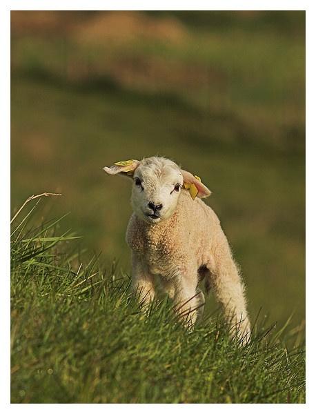 Spring Lamb by conrad