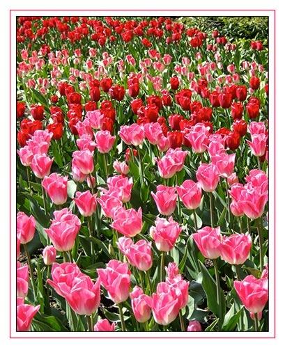 Sea of tulips by JuliaGavin