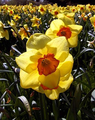 Daffodils by JuliaGavin