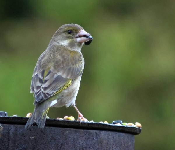 greenfinch by mort