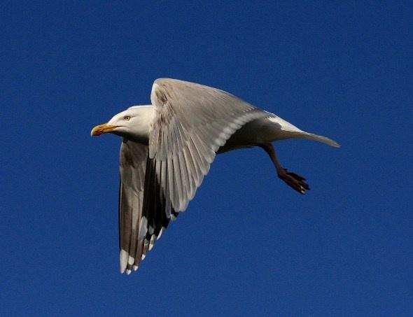 Herring Gull by ChristineD