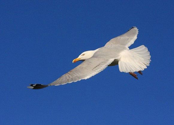Gull three by ChristineD