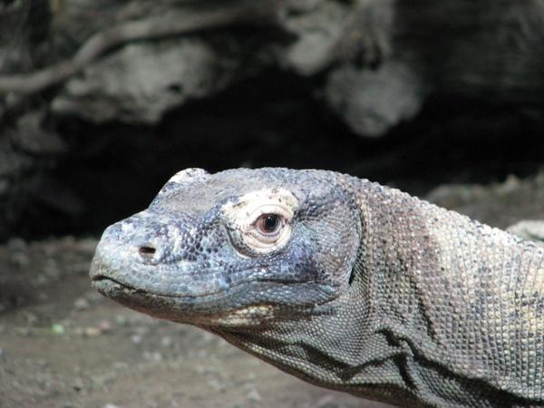 Komodo by EMMA1