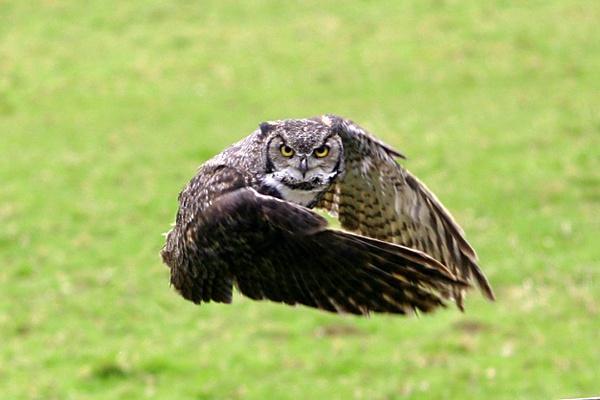 owl by brainy