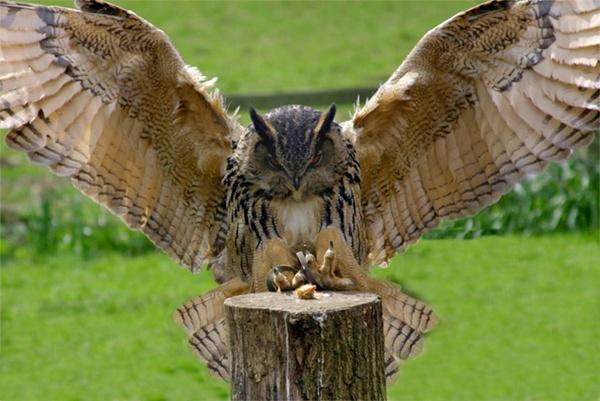 LANDING OWL by brainy