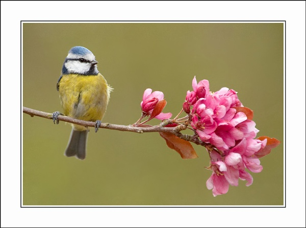 Blossom and Tit by phil_j