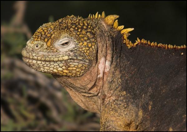 iguana by yemtrav