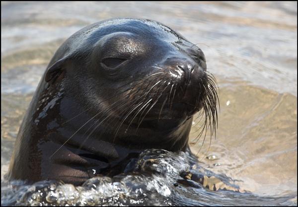 galapagos sea lion by yemtrav