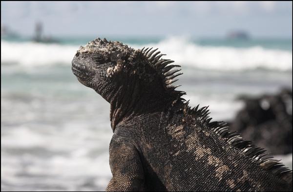 marine iguana by yemtrav