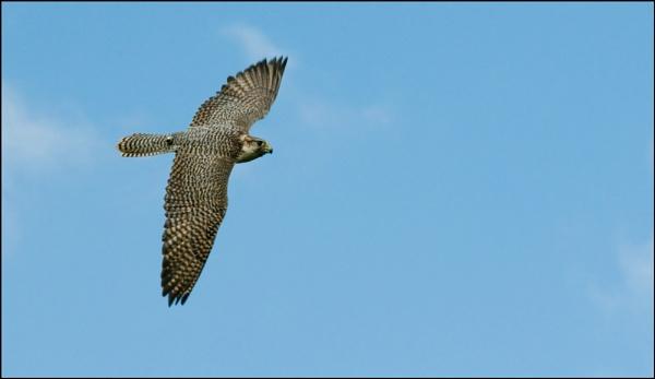 Saker Falcon by geniehawk