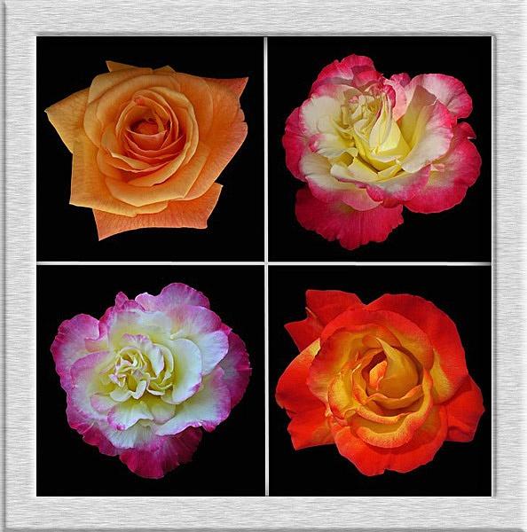 April roses by CarolG