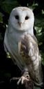 Barn Owl by Mounters