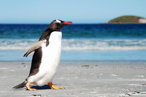 Gentoo, East Falkland by Stevebishop