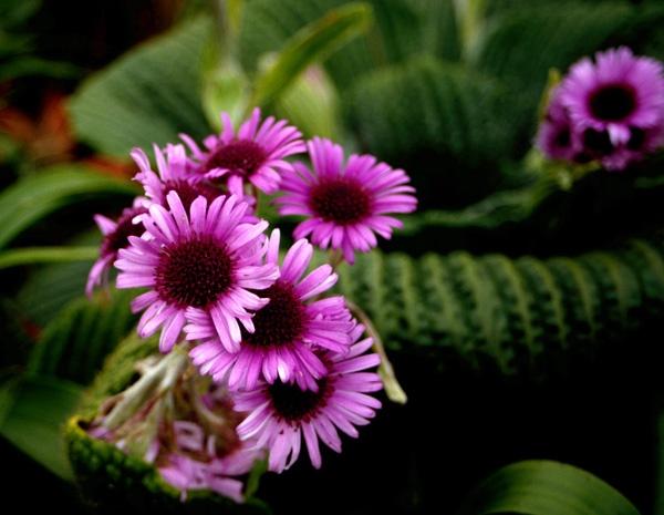 Pleurophyllum speciosum by Leary