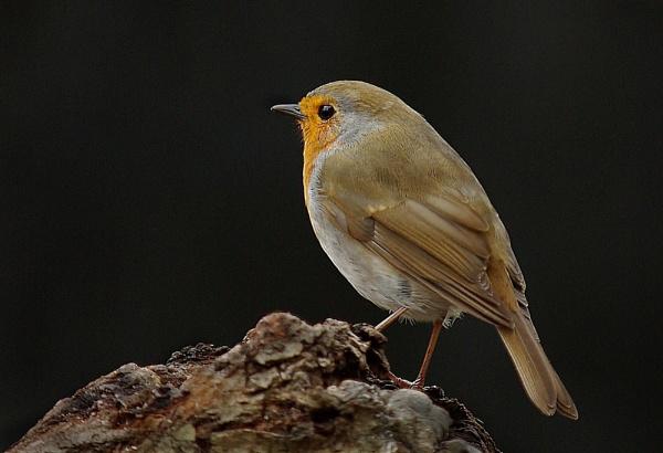 Robin. by JWA