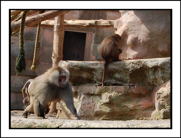 Hamadryas Baboon by Lexical