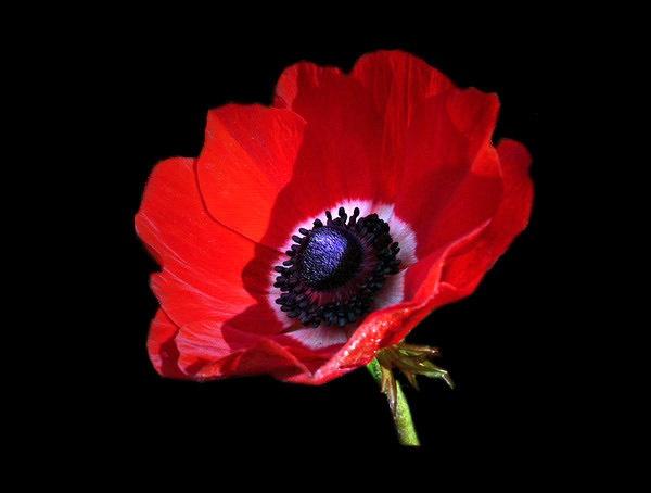 Poppy Red by sandrish