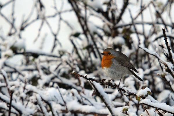 Spring Robin, spring? by alastairwilson