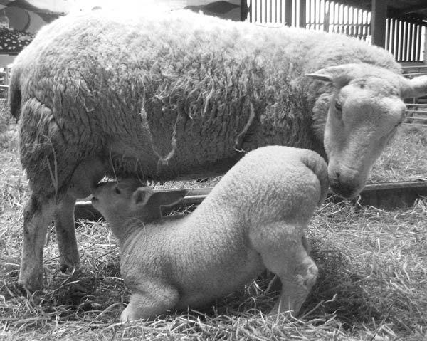 Sheep and Lamb by Lois96