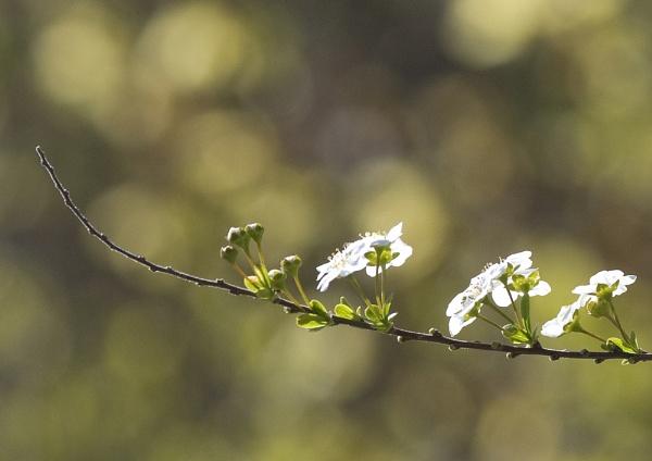 Blossom by mavericke