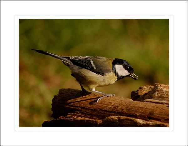 Great Tit by ZInaNMooner