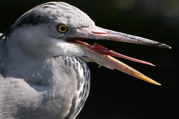 Wildwood Grey Heron by Crazee1ady