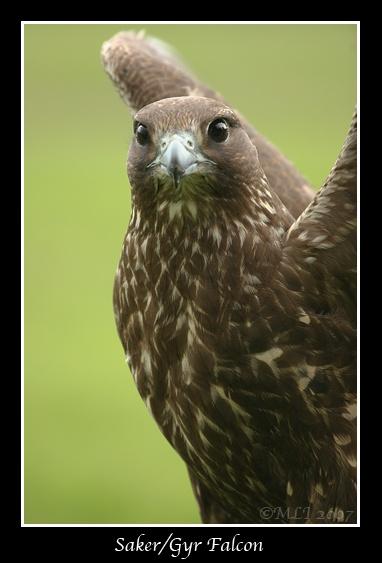 Saker X Gyr Falcon by mialewis