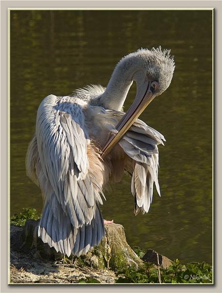 Pelican by FeatherFriend